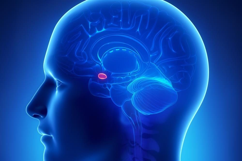 image of the location of an amygdala in a human