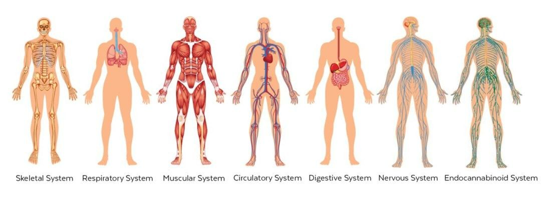 Image of the different systems of the human body; Skeletal, Respiratory, Muscular, Circulatory, Digestive, Nervous and Endocannabinoid system